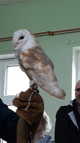 Barn owl inside the Scouts Hall at Field Day 2019